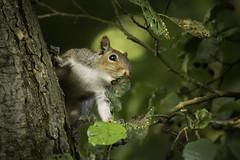 Squirrel (Rob Blight) Tags: squirrel greysquirrel graysquirrel mammal rodent fauna animal tree baum eichhörnchen britishwildlife nikond850 d850 200500 200500mm leaves green bokeh