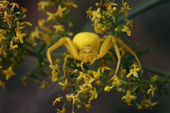 Now you see me, now you don't: Flower crab spider/Veränderliche Krabbenspinne (Misumena vatia)