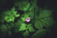 welcome (hannes-flo) Tags: nature close up macro green pruple flower leaves bokeh blur spring springtime