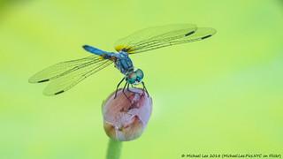 Male Blue Dasher (20180713-DSC01103)