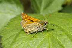 Small Skipper (Thymelicus sylvestris) - Explored (wayne.withers1970) Tags: small pretty wings fly flight flying color colorful nature natural colour colourful wild wildlife wales summer macromonday butterfly moth flickr dof bokeh country countryside outside outdoors alive fauna flora canon sigma light blur black white brown orange green fine tree trees dark macro macromondays skipper leaf leaves smallskipper