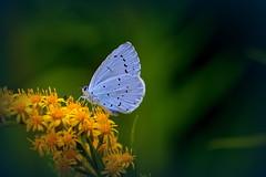 Boomblauwtje (Sylvia Sassen) Tags: blue celestrina boomblauwtje insect nature nikon 105mm