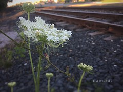Arrival (Ellery Images) Tags: elleryimages quote angelou destination hope love arrival railroad weed wildflower flower queenanneslace