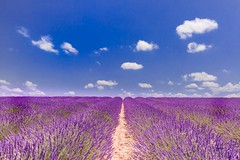 Idyllic summer landscape (icemanphotos) Tags: lavender floral herbs amazing dreamy summer idyll canon countryside scented tree violet flower nature natural harvest vibrant blossom herbal mediterranean fragrance provencealpescote purple colorful landscape sunset plant blooming aromatherapy blue field sky alpesdehauteprovence beautiful alone bloom agriculture color valensole rural perfume provence plateau europe herb french lonely lines scent france row lavande fragrant