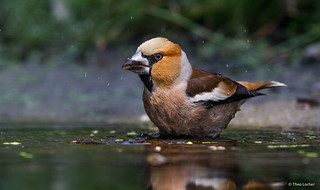 Hawfinch - Appelvink - Coccothraustes coccothraustes -8045
