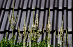 Kandelaber-Ehrenpreis (dl1ydn) Tags: dl1ydn nahaufnahmen blossoms bokeh garden manuell mf voigtländer colorskopar f3580mm kandelaberehrenpreis garten