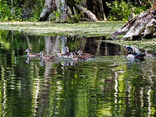 Wood Duck Family Day