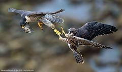 surf-shot-peregrine-falcons-26-May-2016--0280 (surf-shot) Tags: peregrinefalcon transfer raptor fledgling bif birdinflight surfshotcom surfdashshotdotcom bird nature falcon birdphoto birdphotography prey