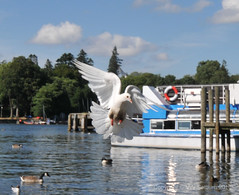 In flight (Vee living life to the full) Tags: lakedistrict cumbria water lake boat ferry shore july 2018 tags feather flight bird dove flying