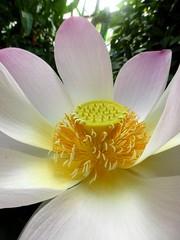 Sacred Heart of Gold (Rebecca Camfield) Tags: lotus flower nelumbo nucifera sacred
