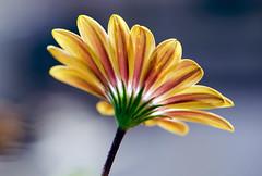 Twilight (Pensive glance) Tags: daisy marguerite flower fleur plant plante