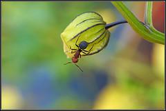 Hormiga en tomate verde (GORIGONZALEZ) Tags: ant hormiga bicho bug insecto tomate tomato verde green maceta sony a57 lente sal35f18 35mm raynox dcr250 nature naturaleza macro marco luz light