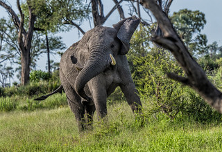 AFRICAN ELEPHANT:  BACK OFF!!