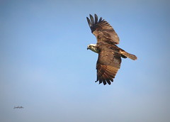 coming around for another pass (Judecat (toes in the sand)) Tags: birdofprey nature wildlife newjerseywildlife birdinflight osprey capemaystatepark
