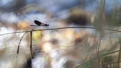 Caloptéryx éclatant (Dakysto94) Tags: odonate odonata libellule libellula dragonfly damselfly demoiselle insecte insect macro proxi proxy proxiphoto iledefrance calopteryx animal nature