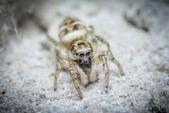 Zebra Spider (Salticus Scenicus) (Paul Tremble) Tags: spider jumping zebraspider wildlife garden uk british bugs macro warwick england unitedkingdom macrobug macrospider canon canon7dmkii sigma105 zebra jumpingspider