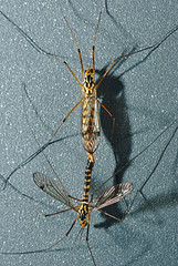 Nephrotoma sp., N. quadrifaria? (docoellerson) Tags: macro cranefly insect pairing mating copulation metazoa eumetazoa arthropoda insecta diptera tipulidae