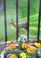 348. Fallow Deer (1000 Wildlife Photo Challenge) Tags: deer fallowdeer city liverpool urbanwildlife nature wildlife