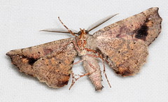 Parepisparis excusata (Victor W. Fazio III) Tags: lepidoptera moths manningvalley tinonee australia parepisparisexcusata