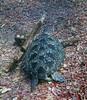 Turtle 12 (Petter Thorden) Tags: diving indonesia gili trawangan underwater turtle