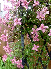 The Clematis in Margy's Garden. (jenichesney57) Tags: flowers clematis arbour trellis colwall herefordshire metal black pink sky light garden lawn panasoniclumix leaves green