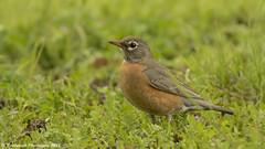 American Robin (Raddykrish Photography) Tags: americanrobin robin nature naturephotography naturallight bird birds birdphotography