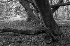 Ancient Beech (Hyons Wood) (Jonathan Carr) Tags: tree ancient woodland black white bw monochrome mediumformat 6x9 rural northeast toyo tmax400 ddx