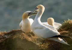 Northern Gannet (ian._harris) Tags: bempton rspb june nikon d7200 naturaleza nature sigma 500mmf45 natural naturephotography bird life
