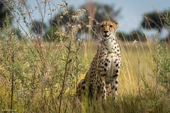Cheetah (He Ro.) Tags: 2018 africa afrika botswana safari southernafrica okavangodelta botsuana wildlife predators wildtiere gepard cheetah acinonyxjubatus landscape grass animal nature wilderness tier gras shindeconcession