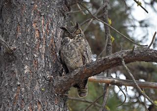 Great Horned Owl 4-18-18