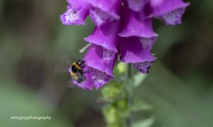 The Ercall (Snowy5) Tags: shropshire purple fox gloves the ercall wrekin forest flower nature tree bee canon 7d ii 100mm snowy5
