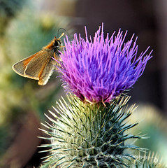 The Moth thing (PAUL YORKE-DUNNE) Tags: moth furry thistle