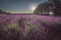 Lavender field before sunset (CPbild) Tags: lavendelfeld blumen stapel d750 nikon flowers lavendel nature flower tamron153028 violett outdoor lila cpbild natur tokinamacro10028d
