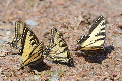 Canadian Tiger Swallowtail (malcolmgold) Tags: 2018 canada canadiantigerswallowtailpapiliocanadensis lakeofthewoods ontario