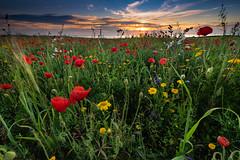 Polly Joke,Cornwall (Darrell Burgess) Tags: cornwall poppys sony a99 nisi hitech