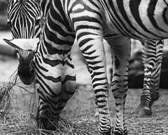 Zebras | Hippotigris (MLopht | Dortmund) Tags: tier säugetier pferde zebra hippotigris zoo zootier dortmund ruhrgebiet canon eos 7d mkii eos7d 150600mm schwarzweis einfarbig sigma