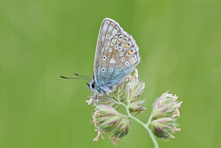 Common Blue.....