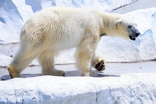 Polar Bear of Ueno Zoo, Tokyo : ホッキョクグマ(上野動物園)