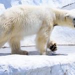 Polar Bear of Ueno Zoo, Tokyo : ホッキョクグマ(上野動物園) thumbnail