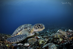 C H E L O N I A (Randi Ang) Tags: green sea turtle seaturtle cheloniamydas gili meno gilimeno islands lombok indonesia underwater scuba diving dive photography wide angle wideangle randi ang canon eos 6d fisheye 15mm randiang