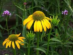 Blumenwiese (chrisheidenreich) Tags: gelb yellow blumen flowers