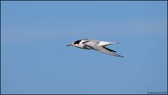 Common Tern (Sterna hirundo) in flight (Steve Arena) Tags: racepointpoint commontern sternahirundo tern massachusetts racepoint barnstablecounty provincetown 2016 nikon d750 bird birds birding capecod
