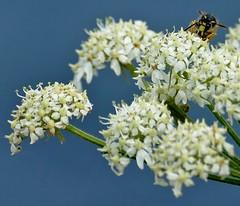 Tree Wasp (chdphd) Tags: stonehaven aberdeenshire kincardineshire wasp dolichovespulasylvestris dolichovespula