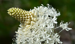 Bear Grass (maytag97) Tags: maytag97 nikon d750 bear grass white northwest wildflower tenax xerophyllum nature bloom green flower plant pacific detail flora alpine color closeup floral petal stem botanical blooming vegetation blossoms macro beargrass beautiful summer natural forest blossom mountain meadow flowers beauty squawgrass soapgrass quipquip indianbasketgrass