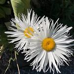 Fringed Daisy thumbnail