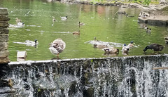 Waterfowl (RockN) Tags: oldmill restaurant ducks geese millpond westminster massachusetts newengland