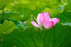 荷花Lotus (游萬國) Tags: lotus flower pink summer