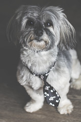 sweet boy (rockinmonique) Tags: 52in52 201852weekthemechallenge dog puppy pet bogie havanese lowkey mybaby moniquewphotography canon canont6s tamron tamron90mm copyright2018moniquewphotography