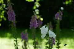 P1100107 (harryboschlondon) Tags: june june2018 18thjune2018 harryboschphotography harrybosch harryboschflickr harryboschlondon harrisgardens plantstreesandflowers botanical botanicalphotography naturephotography nature flowers flowersphotography england englandphotography green pink mauve white