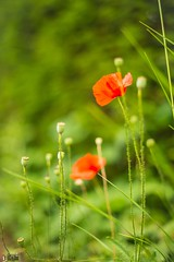 Wild Poppies (happad fotografie) Tags: poppies klaproos red green rood groen shallow depth of field nikon d610 nikkor 50mm prime lens outside flower bloem nature natuur dof plant outdoor bokeh